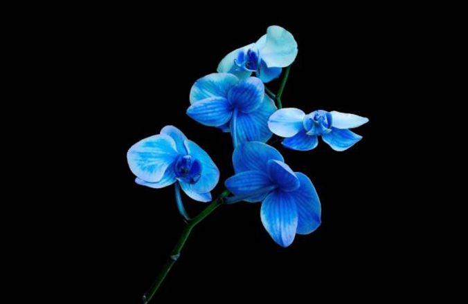 Фотопечать голубая лилия
